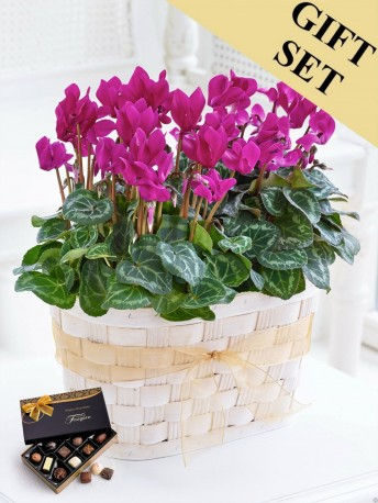 Cyclamen Duo with Chocolates