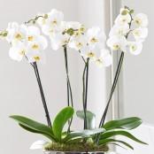 Luxury Phalaenopsis Planter